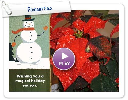 Click to play Poinsettias