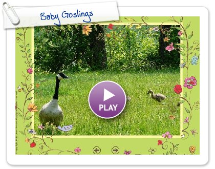 Click to play this Smilebox slideshow: Baby Goslings